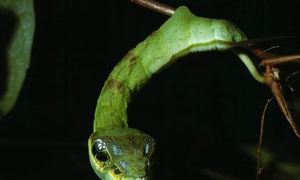 Sâu bướm có hình thù giống rắn