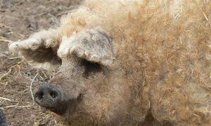 Lợn có bộ lông như cừu