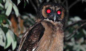 Những loài cú kiếm ăn trong đêm