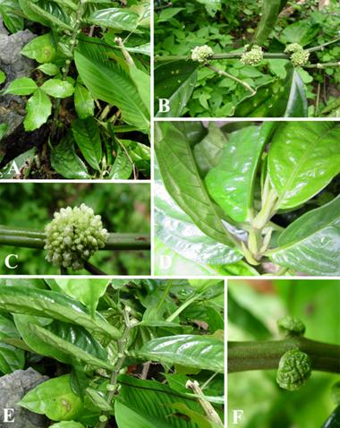 . Elatostema arcuatobracteatum. A. Dạng sống. B. Nhánh mang hoa đực. C. Cụm hoa đực. D. Lá kèm. E. Nhánh mang hoa cái. F. Cụm hoa cái.