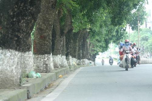 Ảnh 1, 2: Hàng loạt cây xà cừ có đường kính trên 2m trên đoạn phố từ Voi Phục đến khách sạn Daewoo sẽ bị chặt hạ (ảnhMinh Minh)
