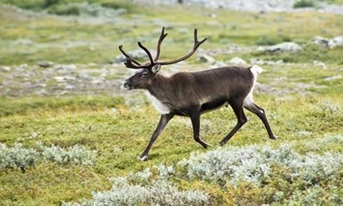 5436-40-Reindeer-Nattfodd-Wiki-5655-8291