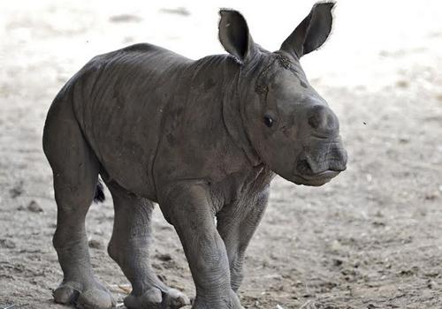 rhino-4534-1409822347.jpg