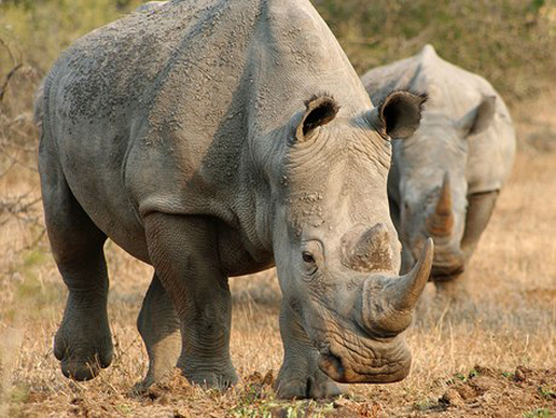 Giới bảo tồn cảnh báo tê giác có thể bị tuyệt chủng trong 6 năm nữa. Ảnh greenfudge.org.