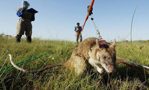 Rats-7392-1411181538.jpg