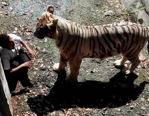 white-tiger-650-092314054510.jpg