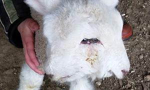 Con cừu hai mặt ở New Zealand