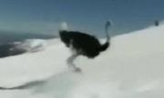 Ảnh động: Khi đà điểu trượt tuyết