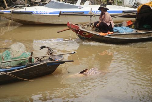 Với kinh nghiệm của người bắt cá nhiều năm, anh Dũng dùng dây đưa vào mang và luồn ra miệng, buộc con cá hô lại và nhờ người anh kéo vào chân cầu Rạch Mương (phường Long Phước, quận 9), cách chỗ bắt cá vài trăm mét.