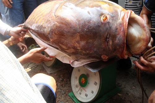 Trọng lượng con cá được xác định 128 kg. Anh Dũng bán được giá 192 triệu đồng.