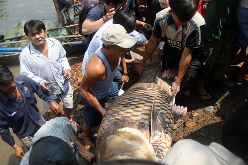 Đến 12h trưa, anh Dũng bán cho một thương lái ở Thủ Đức với giá 1,5 triệu đồng một kg (192 triệu đồng). Chú cá hô được đưa lên xe taxi chở đi trong vòng vây của hàng trăm người hiếu kỳ.