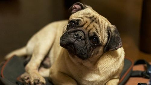 Những con chó thường nghiêng đầu khi chúng ta nói chuyện. Ảnh: gullevek/ flickr