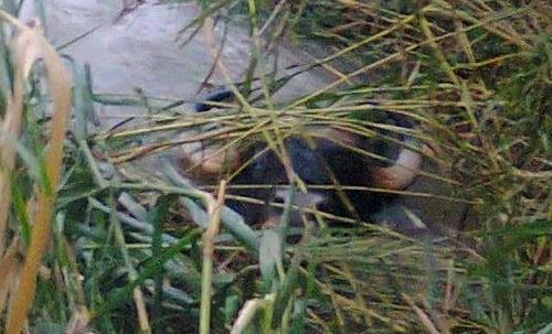 Bò tót xuất hiện ở khu dân cư xã Sông Lũy, huyện Bắc Bình ngày 20/10. Ảnh: Hoàng Trường