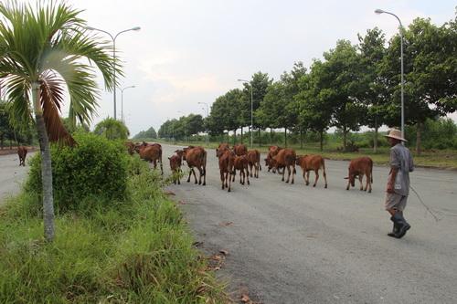 Trong khi chờ đợi thì các dự án của thành phố mới đang trở thành nơi chăn bò của người dân.