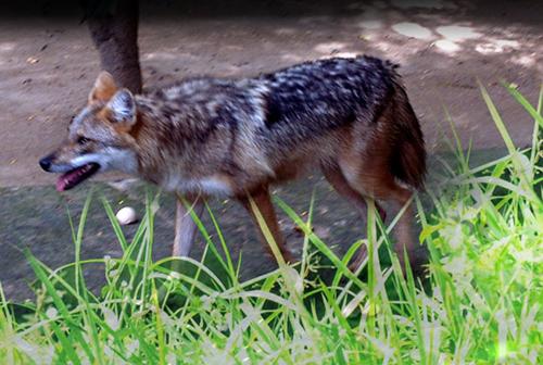 Chó sói rừng Canis aureus ảnh: Phùng mỹ Trung