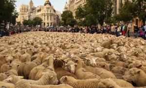 2.000 con cừu 'di cư' qua đường phố Tây Ban Nha