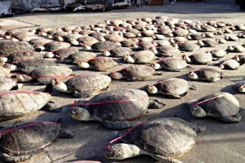 dead-turtles-palawan-chinese-b-8111-4400