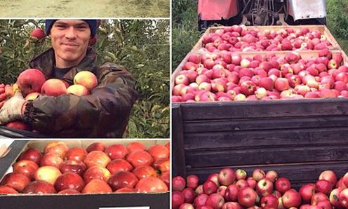 Táo của nông trại Alma theo mô hình mới ở Nga. Ảnh: Freshplaza