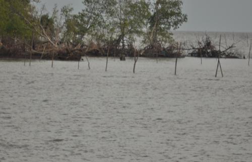 ũi Cà Mau có nguy cơ& biến mất do xâm thực từ biển,