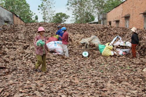 Điểm thu mua của bà Thu, ấp 5, xã Gia Canh mỗi ngày mua khoảng 1 tấn lá. Ảnh: Hoàng Trường