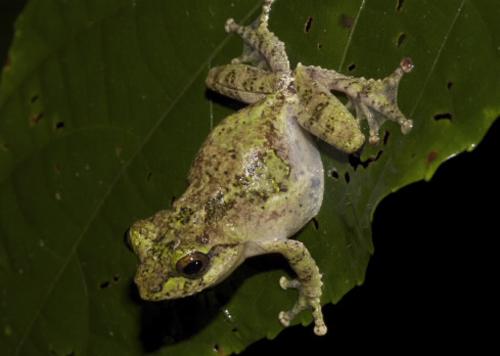Nhái cây Kurixalus motokawai con đực. Ảnh: Nguyễn Thiên Tạo.