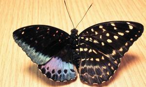 Phát hiện cá thể bướm nửa đực nửa cái