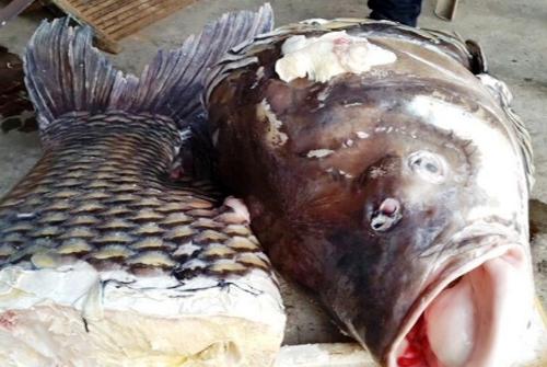 Cá hô được xẻ thịt để bán. Ảnh: C.T