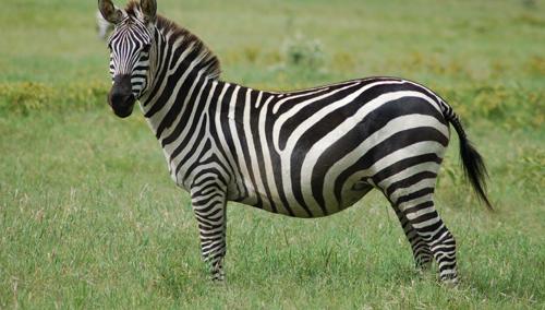 Equus-quagga-6558-1421396732.jpg