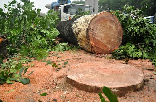 Để phục vụ xây dựng đường sắt trên cao Cát Linh - Hà Đông, hai ngày qua hàng chục cây xà cừ với đường kính gốc gần hai người ôm trên đường Nguyễn Trãi (Thanh Xuân, Hà Nội) bị đốn hạ.