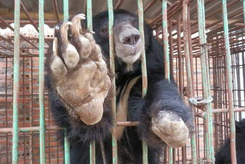Một con gấu bị mất chi được nuôi tại trang trại tư nhân ở Hạ Long. Ảnh: Tổ chức động vật châu Á.