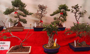 Hội chợ bonsai tết đặc sắc tại Mỹ