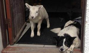 Con cừu bắt chước lối sống của chó