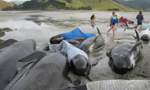 200 cá voi mắc cạn ở New Zealand