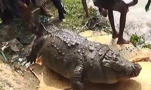 Cá sấu chết vì béo phì