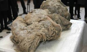 Phát hiện xác tê giác tuyệt chủng từ 100 thế kỷ trước