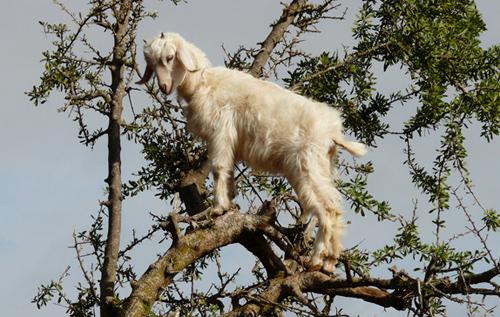 Một con dê đang tìm thực phẩm (lá và quả) trên cây Argan. Ảnh: Cuno de Boer/flickr