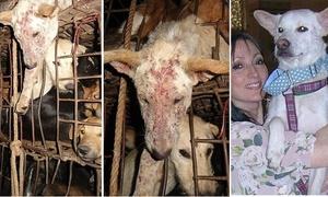 Chú chó nổi tiếng sau khi được cứu thoát khỏi quán nhậu Việt
