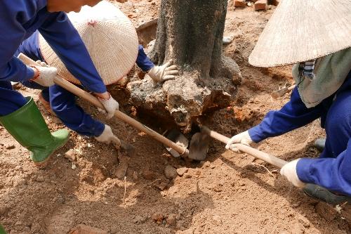 6.700 cây xanh sẽ được thay thế là số cây già cỗi, sâu mục, cong nghiêng ảnh hưởng tới giao thông, cây chết và gần chết