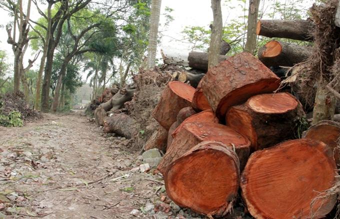 Điểm tập kết cây xanh bị đốn hạ ở Hà Nội