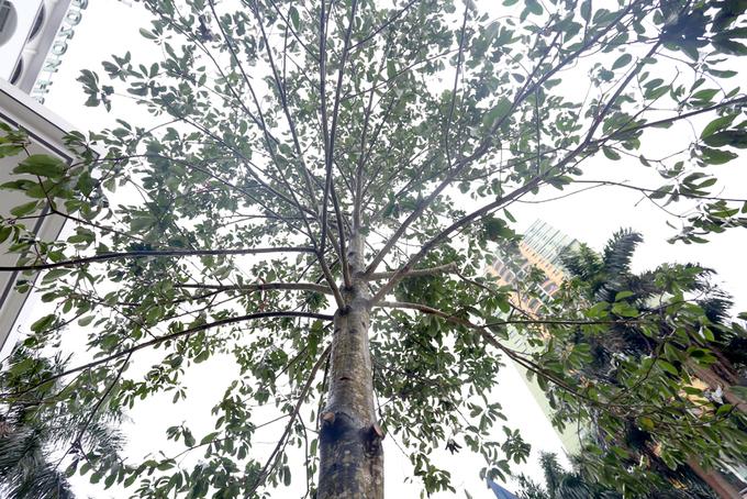 Cây được thay mới lần hai trên đường Nguyễn Chí Thanh