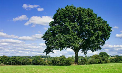 Oak-tree-in-field-007.jpg