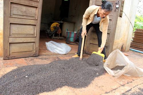Số bọ đậu đen gia đình bà Thêu thu gom được tối 6/5. Ảnh: Hoàng Trường