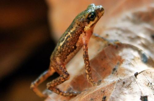 Cóc nhỏ Palawan (tên khoa học: Pelophryne albotaeniata), một loài lưỡng cư chỉ có thể được tìm thấy ở Palawan, Philippines. Ảnh: