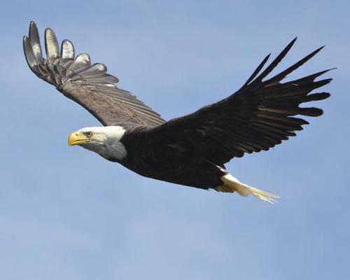 bald-eagle-7976-1434529158.jpg
