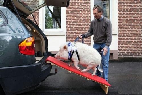 Làm thang gỗ cho thú cưng lên xe hơi.