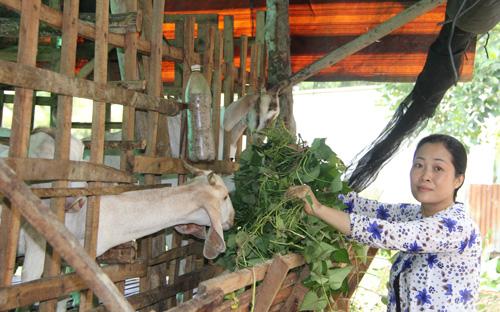 Tiếc ruộng khoai bỏ hoang, vợ ông Quang cắt dây khoai vào cho đàn dê ăn. Ảnh: Cửu Long