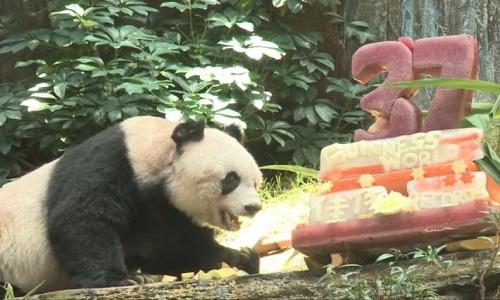VNE-World-s-oldest-panda-turns-4447-3658