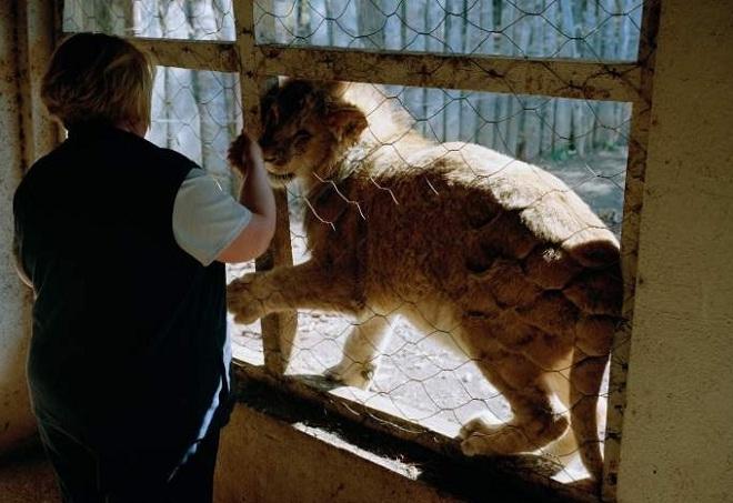 Nuôi sư tử phục vụ thú đi săn của nhà giàu