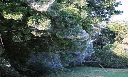 VNE-Giant-spider-webs-take-ove-3023-1235