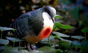 Loài bồ câu mang biệt danh 'trái tim rỉ máu'